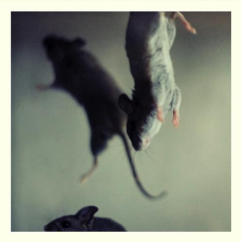 Rats dangling